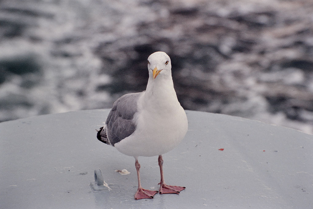 Sea gull on the ferry